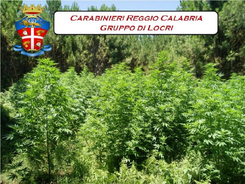 Gruppo locri sequestro piantagione a Mammola