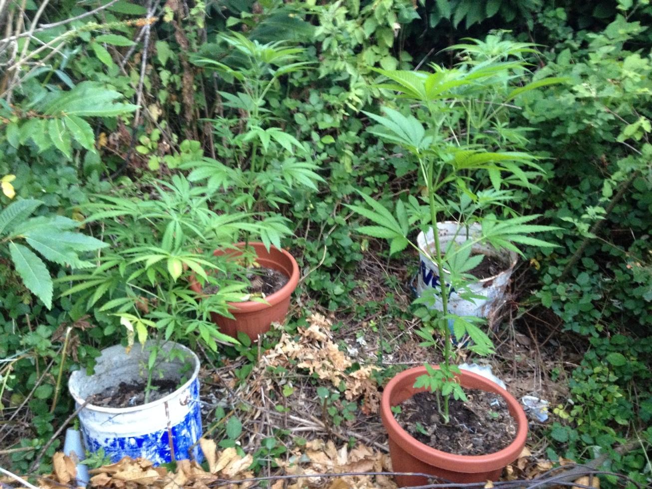 piante marijuana in vasetti
