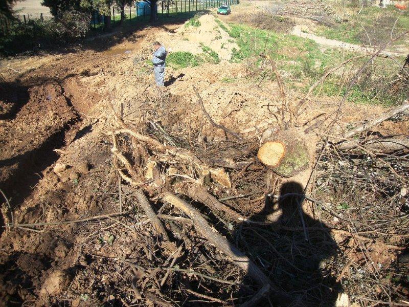 Taglio di alberi abusivo Rende