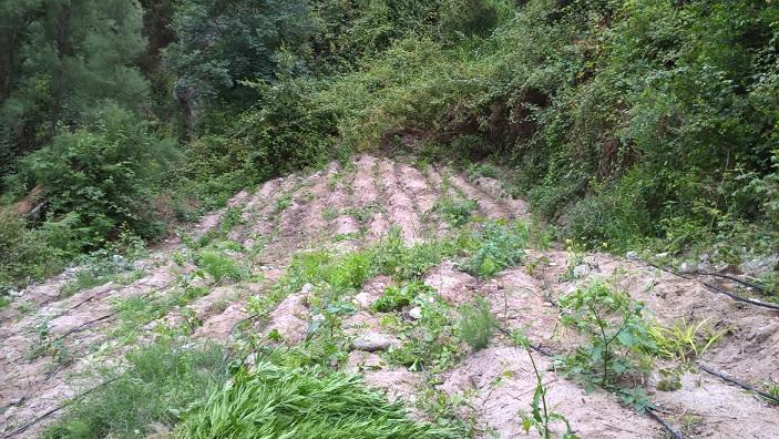 Coltivazione canapa indiana Roccella Jonica