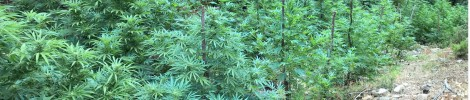 Sequestro piante marijuana