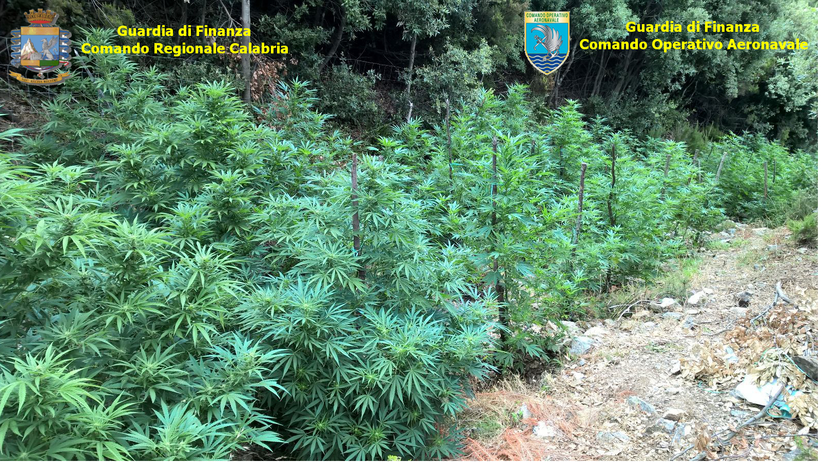 Sequestro piante marijuana