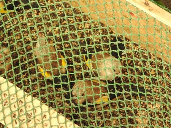 Crucoli (KR) - Liberati cardellini catturati illegalmente: una denuncia
