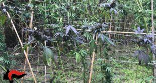Distrutte 300 piante di cannabis nella Locride dai carabinieri