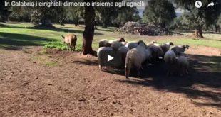 In Calabria i cinghiali dimorano insieme agli agnelli