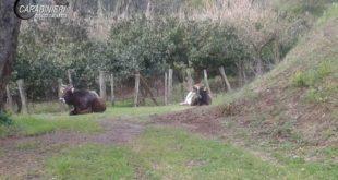 Pascolo abusivo bovini, carabinieri denunciano allevatrice